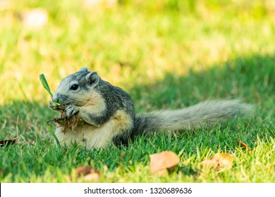 Cute Thai common squirrel enjoy gnawing a grass with root