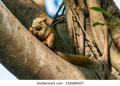 Cute Thai common squirrel enjoy gnawing a peanut