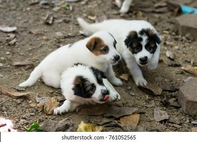 Cute thai puppies