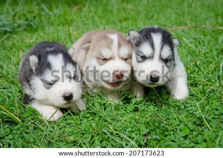 Cute Three Puppy Siberian Husky Howling Stock Photo Edit Now