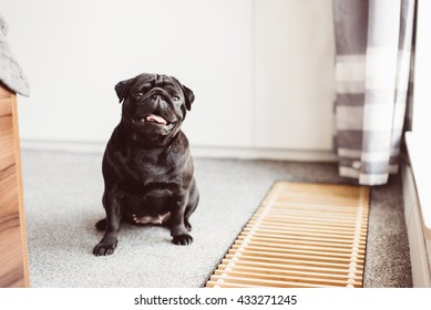 Cute tiny black pug dog sitting on a carpet and waiting for walk.