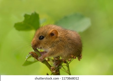 Cute tiny hazel dormouse or common dormouse, Muscardinus avellanarius, nocturnal animal with reddish brown fur, little paws and black eye, sits on a branch and nibbles the leaves in forest