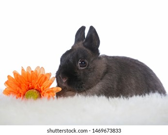 Cute and tiny Polish rabbit with an orange gerbera flower. Adorable bunny isolated on white.