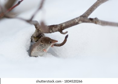 A cute tiny shrew peeks out of a burrow in the snow. Eurasian least shrew (Sorex minutissimus), also known as lesser pygmy shrew. End of autumn in the tundra.