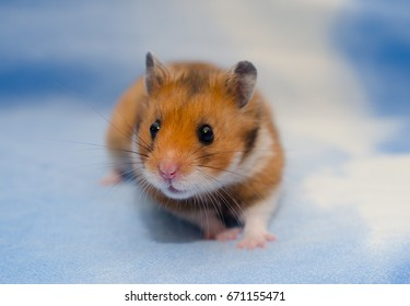 Cute tiny Syrian hamster against a bright blue background
