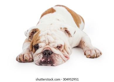 A cute and tired Bulldog laying with its head on the ground
