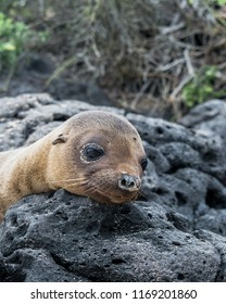 Cute and tired little sea lion pup