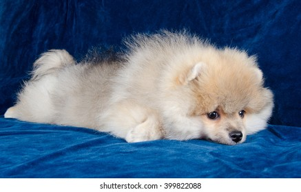 Cute tired Pomeranian puppy lying on a blue sofa