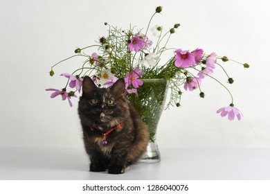 Cute tortoiseshell colored kitten sits under the beautiful bouquet of colorful Cosmos/ Cosmos bipinnatus flowers in glass vase in studio against white background.