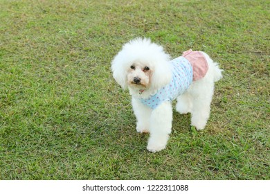 Cute toy poodle