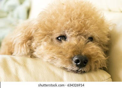 Cute toy poodle lying on the couch relaxing