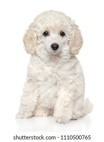 Cute toy poodle puppy sits in front of white background. Baby animal theme