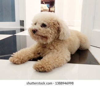 Cute toy poodle resting in the house - iamge.