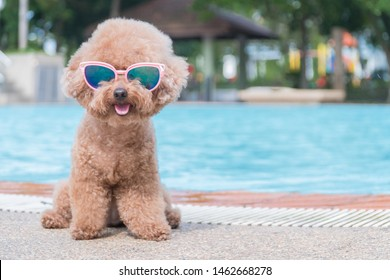 Cute Toy Poodle wearing Sunglasses by the pool