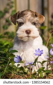 Cute toy schnauzer puppy in a spring flower meadow