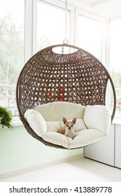 Cute toy-terrier resting in a hanging rattan chair on the balcony of the apartment. Dog sitting in a chair on the terrace