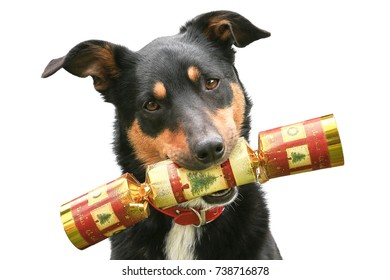 Cute tricolour Kelpie (Australian breed of sheep dog) holding a Christmas cracker in its mouth, on a white background.