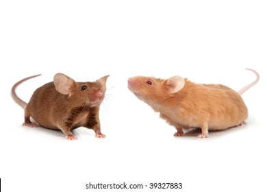 cute two fancy mice isolated on white background short hair satin cinnamon & long hair satin fawn
