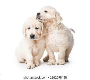 Cute two golden retriever puppies together isolated on white background