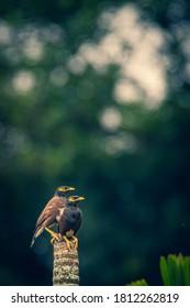cute two love birds (mynah)
