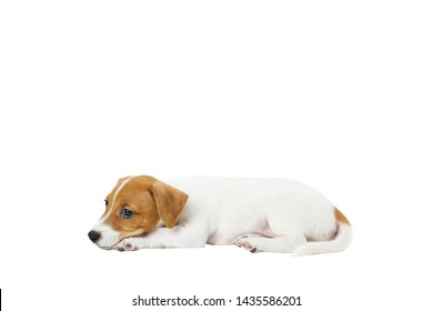Cute two months old Jack Russel terrier puppy with folded ears. Small adorable doggy with funny fur stains. Close up, copy space, isolated background.