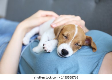 Cute two months old Jack Russel terrier puppy sleeping on young woman's chest. Small adorable doggy w/ funny fur stains resting with owner on couch. Close up, copy space background