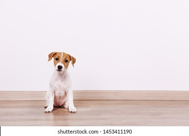 Cute two months old Jack Russel terrier puppy with folded ears. Small adorable doggy with funny fur stains. Close up, copy space, wood textured floor and white wall background.
