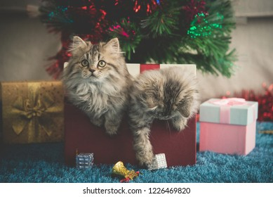 Cute Two Persian kittens playing in a gift box