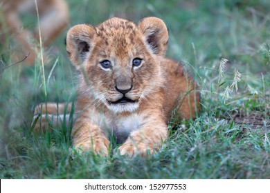 Cute two week old baby Lion from Rekero Pride in Masai Mara, it still has the birth eye color.