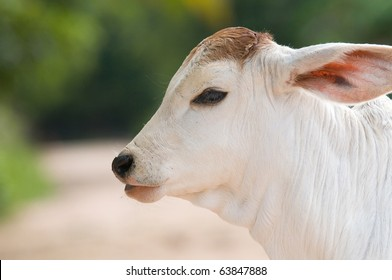 Cute, two weeks old, Asian calf with big ears. Shallow depth of field with the whole head in focus.