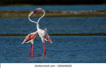 Cute valentine greater flamingo