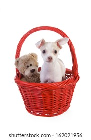 Cute Valentines day Chihuahua Puppy in red gift basket with teddy bear isolated on white background
