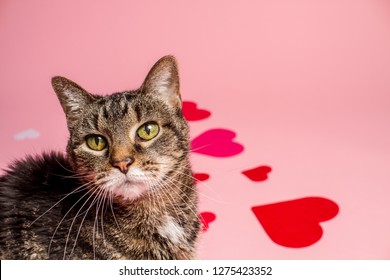 Cute Valentine's Day Tabby Studio Portrait in Pink Hearts Background Horizontal
