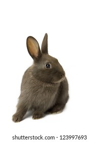 Cute velvet brown bunny looking away while sitting on white background.