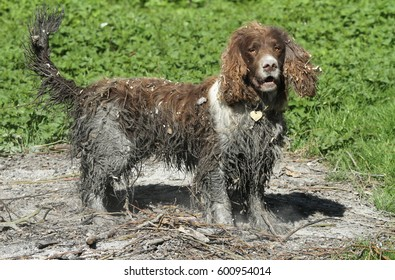 A cute but very naughty English Springer Spaniel dog that has been swimming in a bog and then to finish the look has rolled in an old bonfire getting covered in dirt.