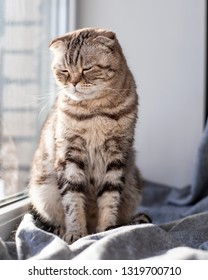 Cute very sad cat Scottish Fold is sitting on the window sill by the window, closed her eyes and sadly looks down in the rays of the spring sun.