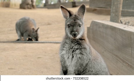Cute wallaby staring with confused face