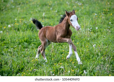 Cute week old Welsh Pony Foal galloping on spring meadowwith fresh grass and yellow flowers.