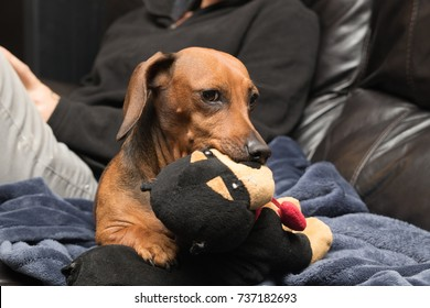 A cute weiner dog daschund guarding and protecting her toy