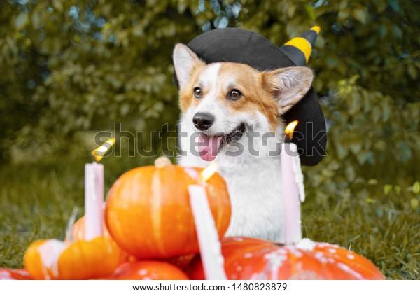 corgi with a hat