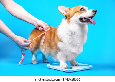 Cute welsh corgi pembroke or cardigan stands and checks weight on electronic floor scale on blue background, copy space for text. Human hands measure the volume and size of dog with a centimeter