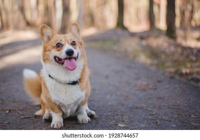 cute welsh corgi pembroke dog during a walk