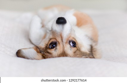 Cute welsh corgi pembroke puppy relaxed laying down on a sofa belly up
