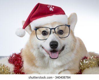 A cute Welsh Corgi posing with a Christmas hat and glasses on it's head. Image taken in a studio.