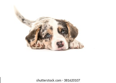 Cute welsh corgi puppy dog lying down and wagging its tail isolated on a white background