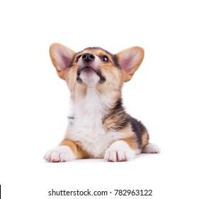 cute welsh pembroke corgi puppy on an isolated white background studio shot