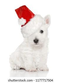 Cute West Highland White terrier puppy in Santa Hat. Baby animal theme