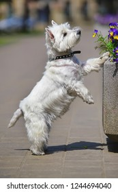 Cute West Highland White Terrier dog standing outdoors on its back legs near a flowerbed in a city park in summer