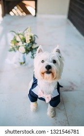 Cute West Highland white terrier at a wedding.