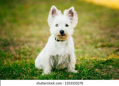 Cute West Highland White Terrier - Westie, Westy Dog Portrait